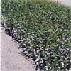 HARDENBERGIA VIOLACEA WHITE OUT