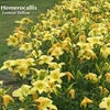 HEMEROCALLIS LEMON YELLOW