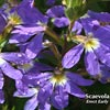 SCAEVOLA ERECT EARLY BLUE