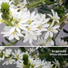 SCAEVOLA WHITE WONDER