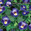 TORENIA VIVA MIDNIGHT BLUE
