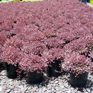 An attractive native groundcover which is ideal for sunny well