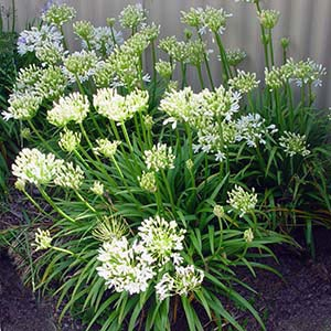 AGAPANTHUS SEA FOAM