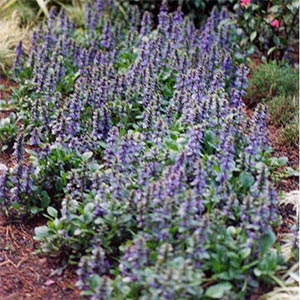 AJUGA JUNGLE BEAUTY_1