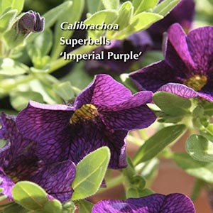 CALIBRACHOA SUPERBELLS IMPERIAL PURPLE