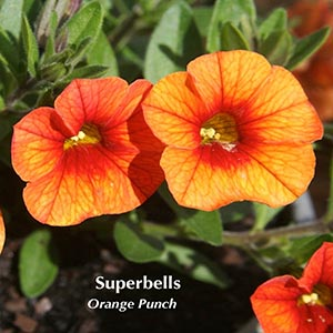 CALIBRACHOA SUPERBELLS ORANGE PUNCH