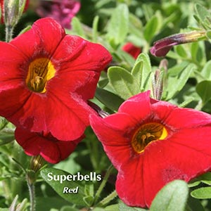 CALIBRACHOA SUPERBELLS RED