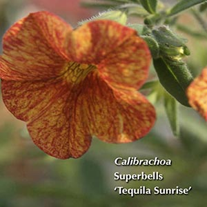 CALIBRACHOA SUPERBELLS TEQUILA SUNRISE