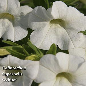 CALIBRACHOA SUPERBELLS WHITE