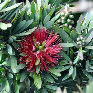 CALLISTEMON VIMINALIS LITTLE JOHN