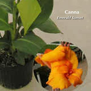 CANNA EMERALD SUNSET