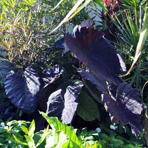 COLOCASIA BLACK MAGIC_1