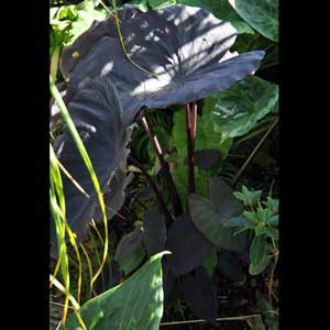 COLOCASIA BLACK MAGIC_2