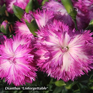 DIANTHUS UNFORGETTABLE