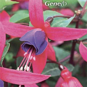 FUCHSIA SHADOWDANCER GENE