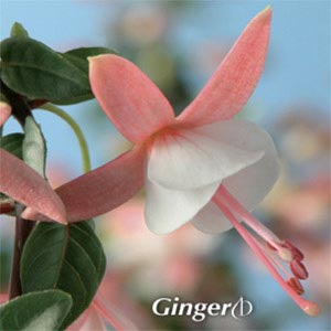 FUCHSIA SHADOWDANCER GINGER