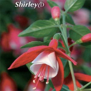 FUCHSIA SHADOWDANCER SHIRLEY