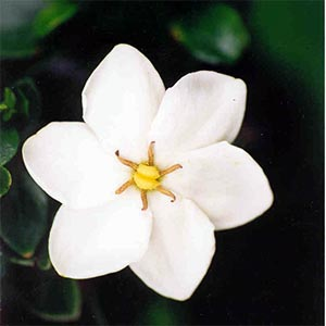 GARDENIA FRAGRANT STAR