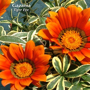 GAZANIA TIGER EYE