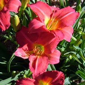 HEMEROCALLIS RED RUM