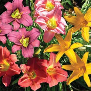 HEMEROCALLIS RED RUM_2