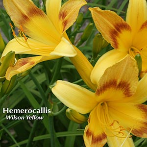HEMEROCALLIS WILSONS YELLOW