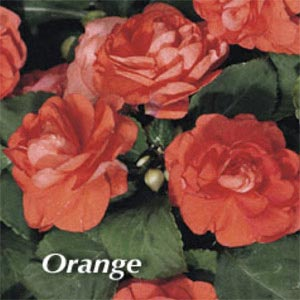 IMPATIENS DOUBLEUPS ORANGE