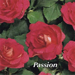 IMPATIENS DOUBLEUPS PASSION
