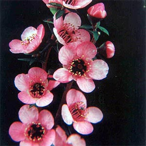 LEPTOSPERMUM WIRI SHELLEY