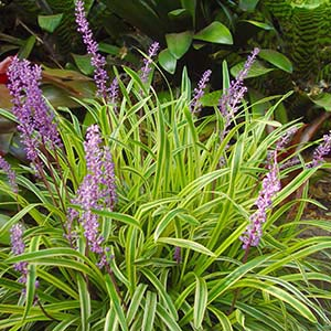 LIRIOPE MUSCARI GOLD BAND