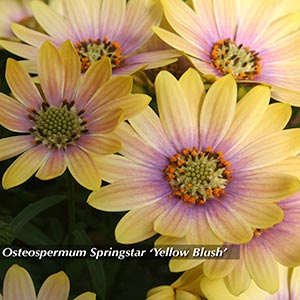 OSTEOSPERMUM YELLOW BLUSH